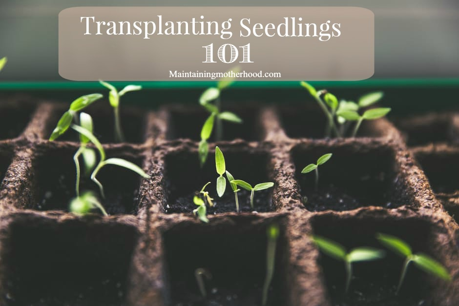 If you have a short growing season, starting seeds indoors is a great head start to your summer garden! Sprouting and transplanting seedlings is easy.